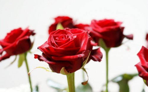 long-stem-red-roses-HD_wallpapers